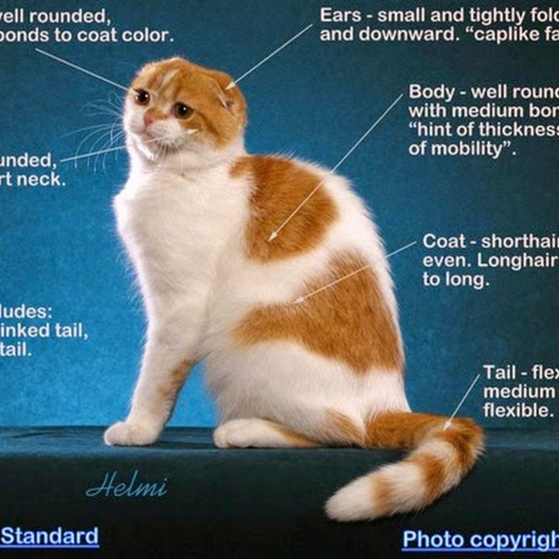 Essay on the Scottish Fold (for students)