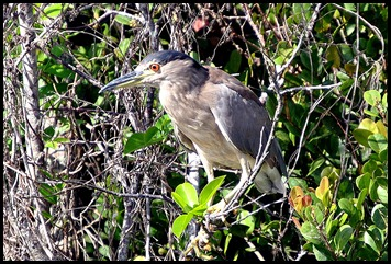 12 - Blackcrowned Night-Heron