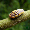 Giant scale insect