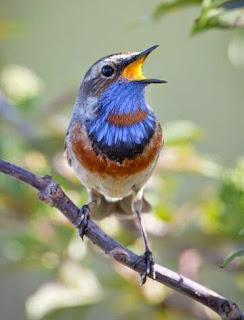 bird song bluethroat