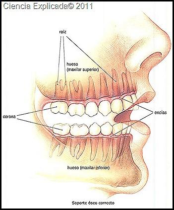 partes de la boca
