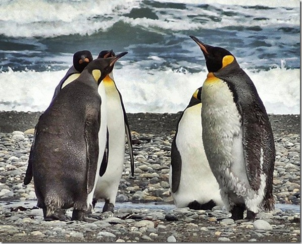 King_Penguins_DSC01039