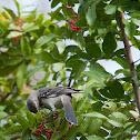 Brazilian Pepper and Northern Mockingbird