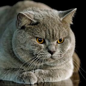 mmmmr by Darko Kovac - Animals - Cats Portraits