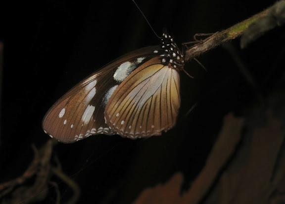 Hypolimnas anthedon DOUBLEDAY, 1845. Bobiri Forest (Ghana), 15 décembre 2009. Photo : Henrik Bloch