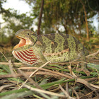 Flap necked chameleon