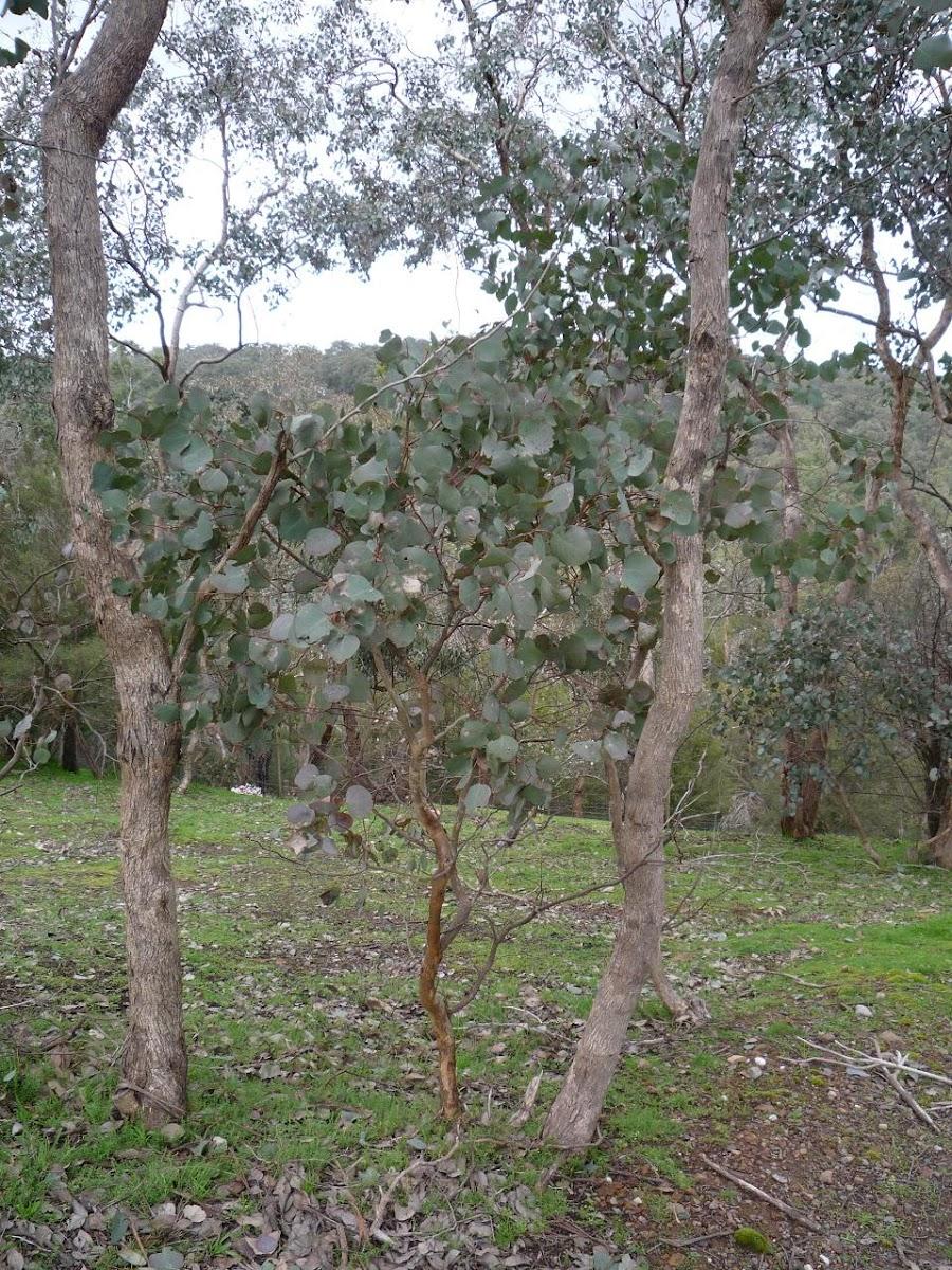 Red Box (Eucalyptus polyanthemos)