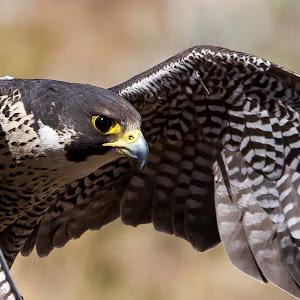 _MG_6947 Saker Falcon Animal Ark May 25©2014mFaithk JPEG.jpg