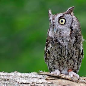 Whoo woke me? by Dyane Kirkland - Animals Birds ( bird of prey, screech owl, owl, raptor, small owl )