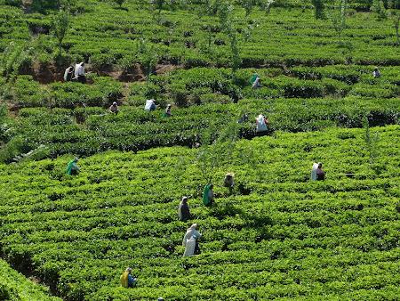 Agricultura Sri Lanka: campuri de ceai de Ceylon