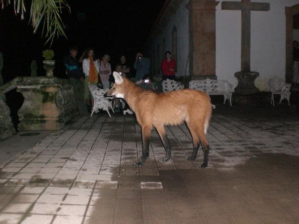 Lobo-guará do Caraça