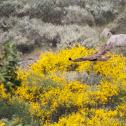 Common Buzzard - águia‐de‐asa‐redonda