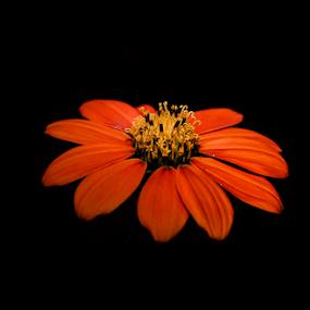 orange by Thiago Silva - Flowers Single Flower (  )