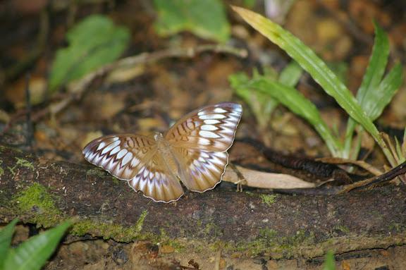Tanaecia orphne BUTLER, 1870. Sepilok (Sabah), 10 août 2011. Photo : J.-M. Gayman