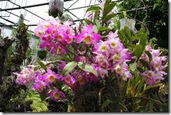 Dendrobium_-_lado_2