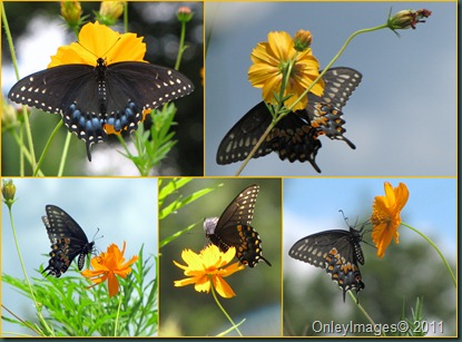 swallowtail collage