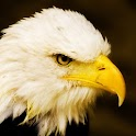 Bald Eagles Wallpapers logo