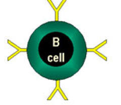 B cell