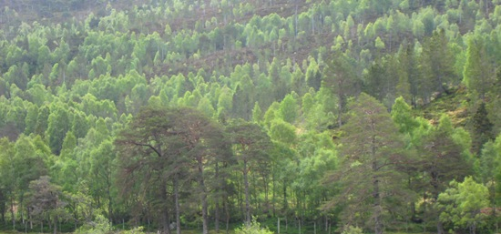 Glen Cannich Trees