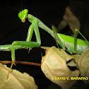 Mantid / praying mantis / preying mantis