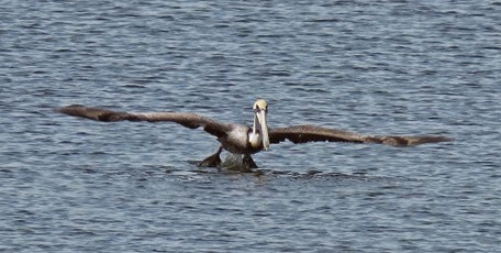 Pelican at Crystal Beach