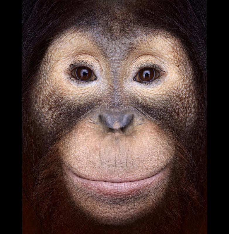 animal-photography-affinity-Brad-Wilson-orangutan-1.jpeg