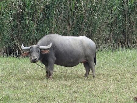 09. Water buffalo.JPG