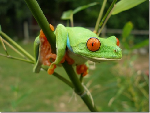 red_eye_tree_frog