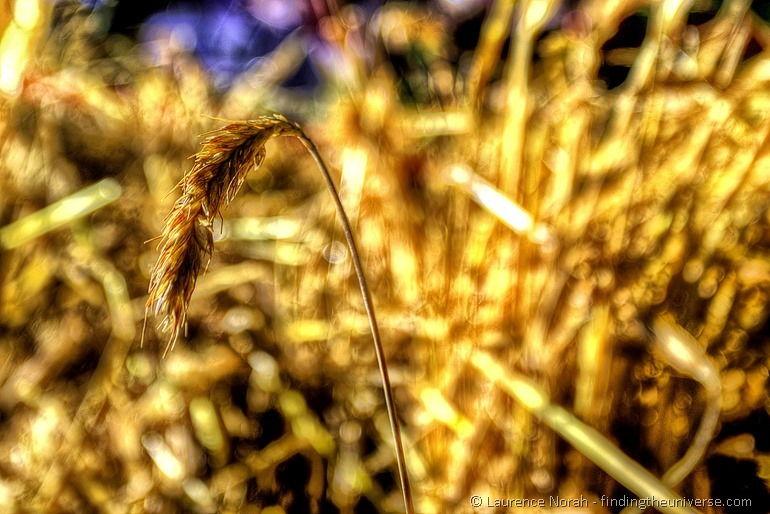 Wheat head 2-001