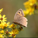 Meadow brown butterfly, female