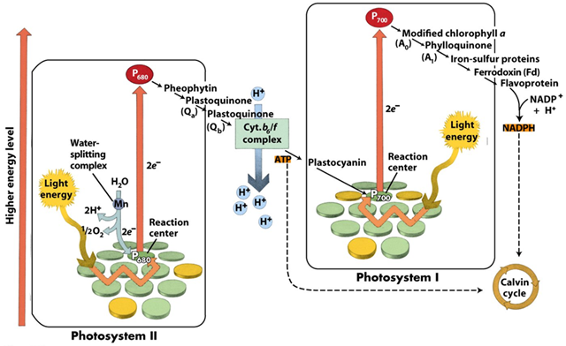 Photosystem I and Photosystem II