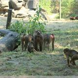 Schweinsaffen