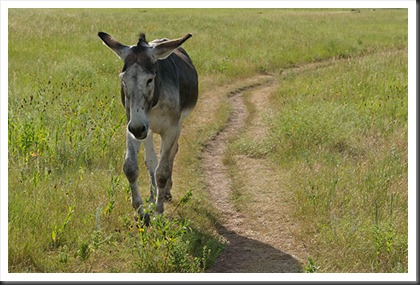 2011Jul31_Custer_State_Park_burro