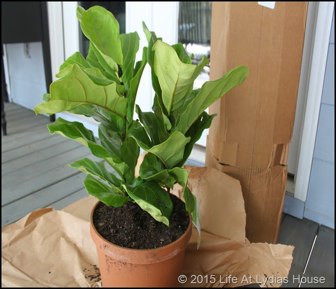 unpacking the fiddle leaf fig
