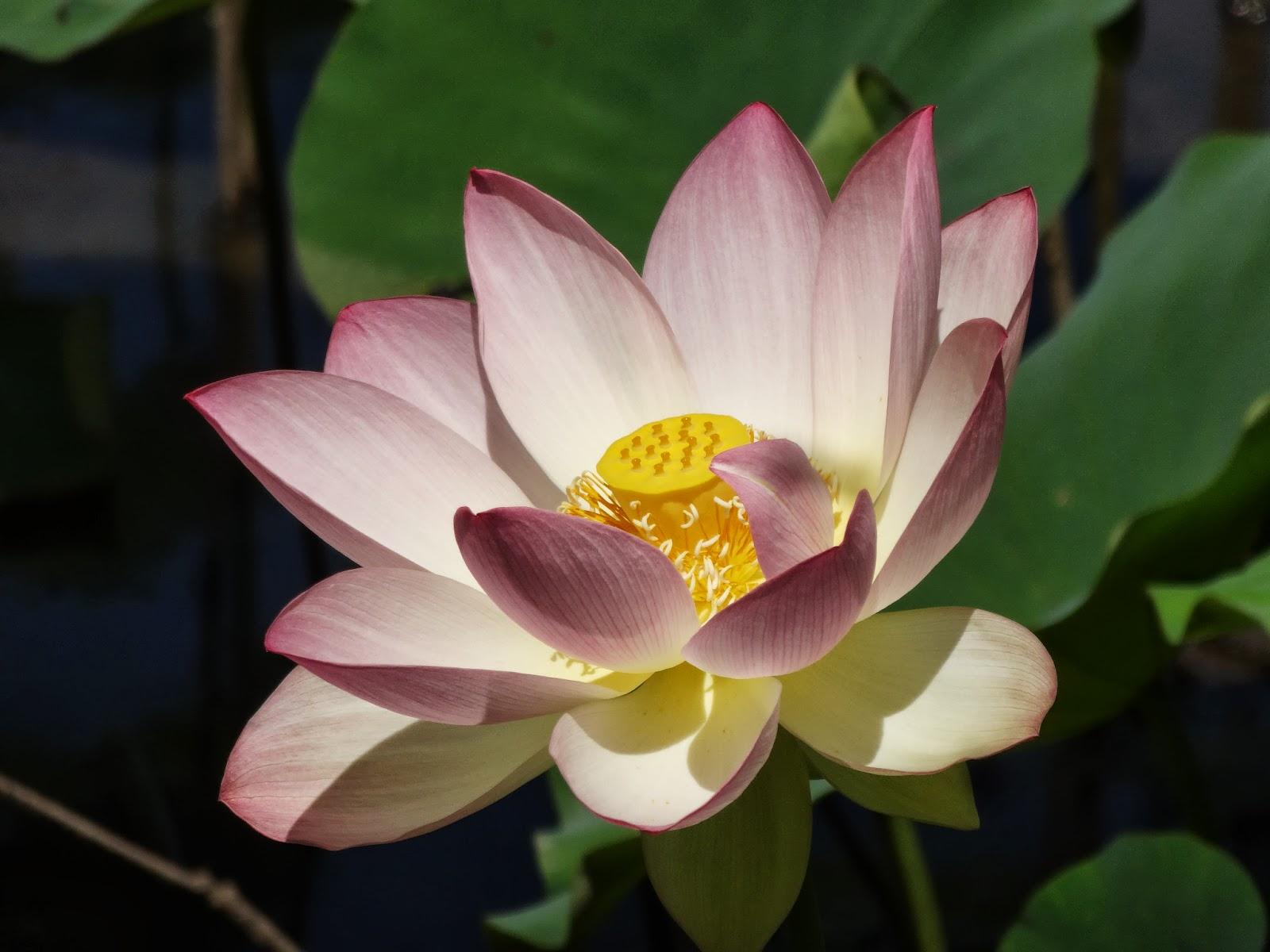 Love Joy And Peas Lotus Flower Photos Haiku Poem