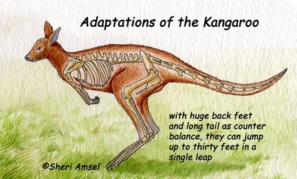 Kangaroo adaptation