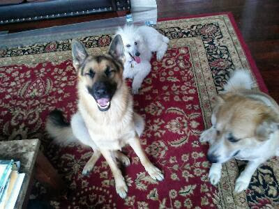 german shepherd, standard poodle and a lab mix hanging out together