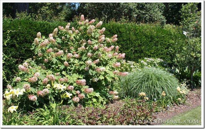 Oakleaf Hydrangea bush