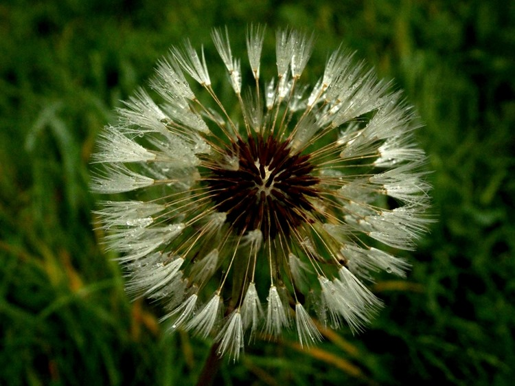 Autumn morning dandelion