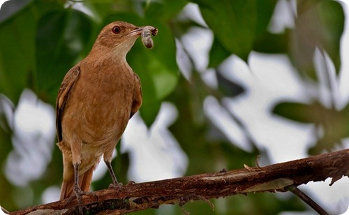 Hornero--Furnarius-rufus-Rufous-Hornero-10-Msnes-Oct08