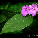 Handsome Flowered Balsam