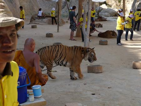 Templul tigrilor Thailanda - calugarul cu tigru