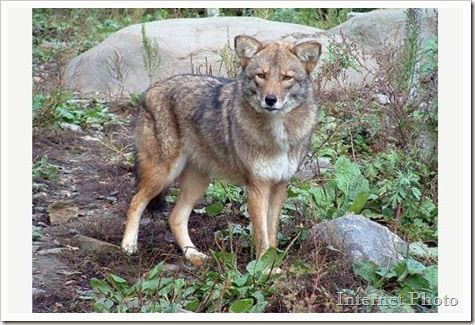 meet_thecoywolf.jpeg.size.xxlarge.letterbox