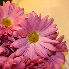 Pink Daisy by Christie Henderson - Novices Only Flowers & Plants ( daisy,  )