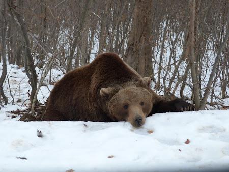 Sanctuarul de ursi LiBearty: un urs trist