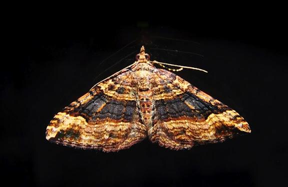 Geometridae : Larentiinae : Xanthorhoini : Epyaxa sodaliata WALKER, 1862. Umina Beach (NSW, Australie), 7 octobre 2011. Photo : Barbara Kedzierski