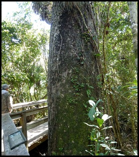 23e - Mahogany Hammock - Huge Mahogany Tree Trunk
