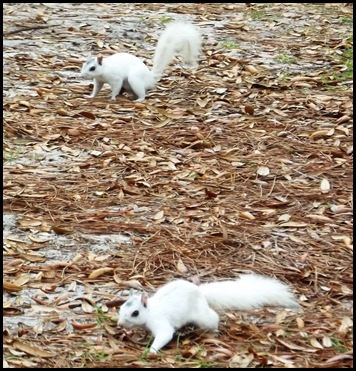 Morning squirrels 034A