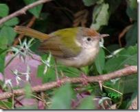 2 Common Tailorbird ( 75 kb )