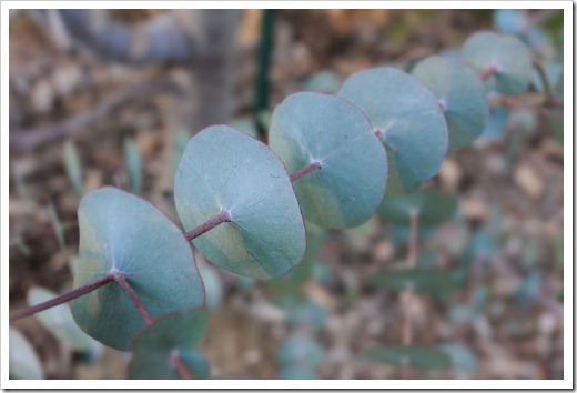 130119_UCDA_AustralianCollection_Eucalyptus-perriniana_02